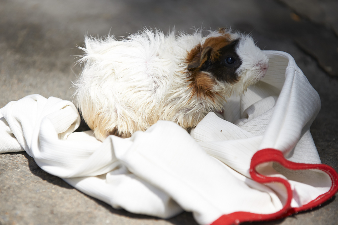 The Guinea pig waiting patiently while its owner washes up.